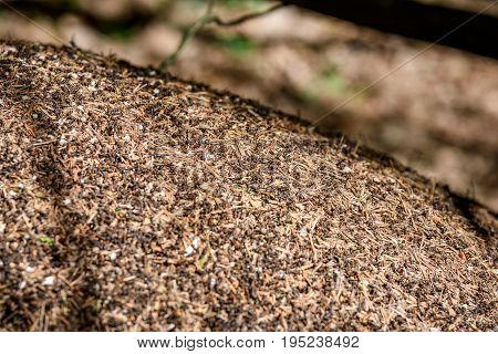 Close-up Of Ants Nest. Large Ant Hill In Summer Forest.