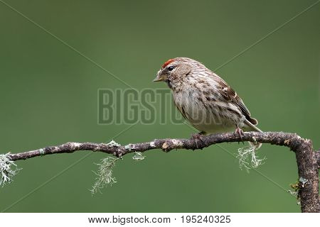 A close portrait of a lesser redpoll perched on a branch and looking left