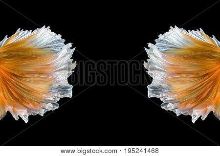 Close up art movement of Betta fishSiamese fighting fish isolated on black background.Fine art design concept.