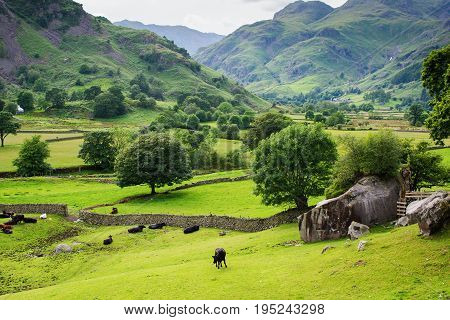 Rural landscapes in Lake District National Park, England, stone wall, cows, mountains on the background, selective focus
