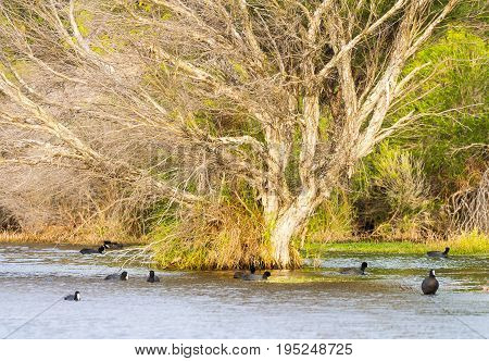 Australian coot swimming around a partly submerged paper bark tree at Herdsman Lake in Perth, Western Australia.