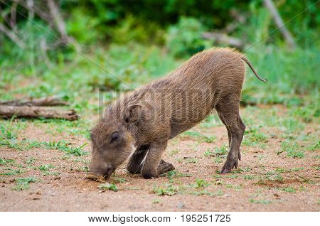 Common baby warthog feeding while kneeling on the front knees