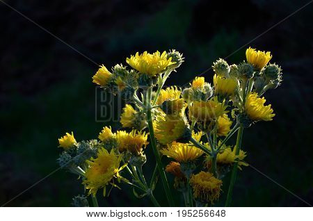 Cluster of bright yellow flowers, endemic wild plant of Canary islands, Sonchus acaulis