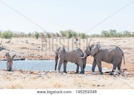 Elephant behavior - an African elephant Loxodonta africana pushing with its trunk against another elephant at a waterhole in Northern Namibia