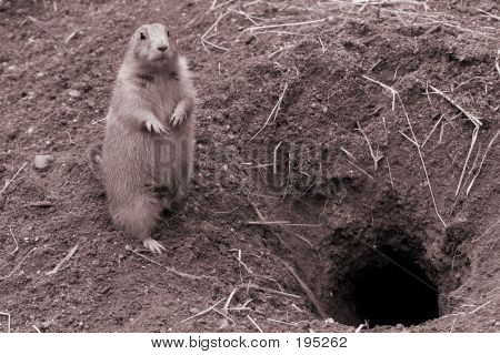 Prairie Dog Near Burrow