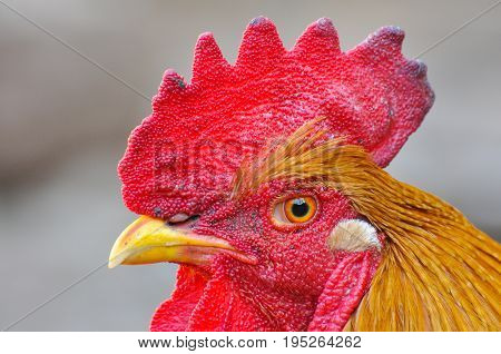 Portrait of colorful rooster. Close up photo of red cock