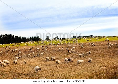 Big Herd Of Sheeps And Goats Grazing On A Field
