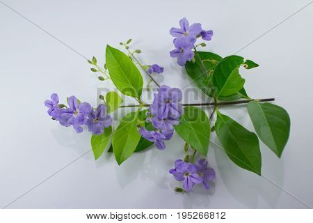Small White Mix Violet  Flower Or  Duranta Repens Flower Isolated