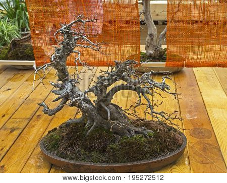 MOSCOW, RUSSIA, MAY 13, 2017: Oriental hornbeam - Bonsai in the style of
