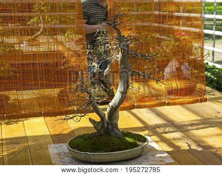 MOSCOW, RUSSIA, MAY 18, 2017: Oriental hornbeam - Bonsai in the style of