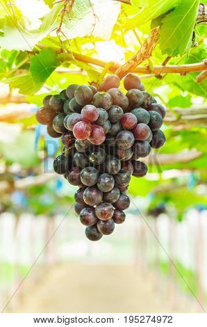 Red grapes ready to be harvested at a vineyard. (wine)