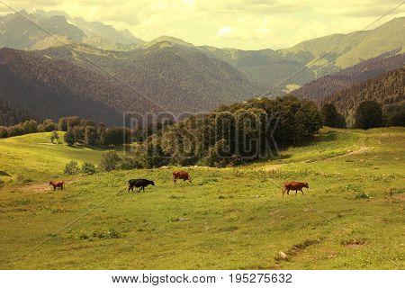 Cows in Alpine meadows. Beautiful mountain landscape.