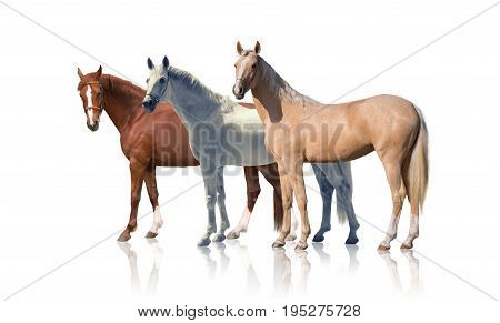 White, red and palomino horses stay isolated of the white background