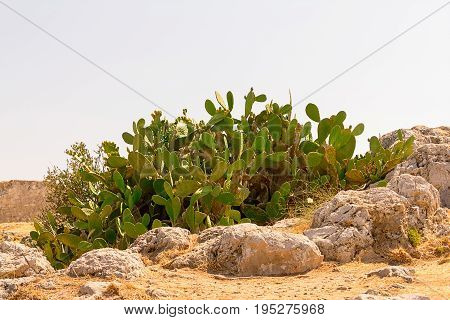 Cactus opuntia covered with juicy fruits growing near the stones in the countryside pustnoy