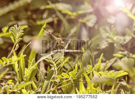 Yellow dragonfly closeup resting on heather in sunset light
