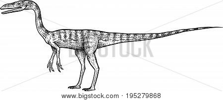 Coelpohysis illustration, drawing, engraving, ink, line art