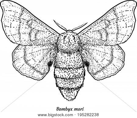 Domesticated silk moth illustration, drawing, engraving, ink, line art