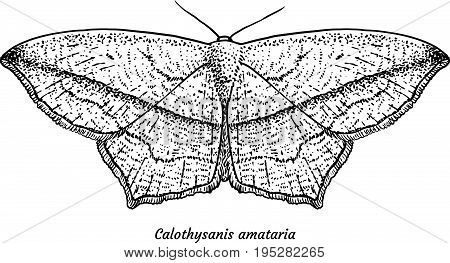 Blood-vein moth illustration, drawing, engraving, ink, line art