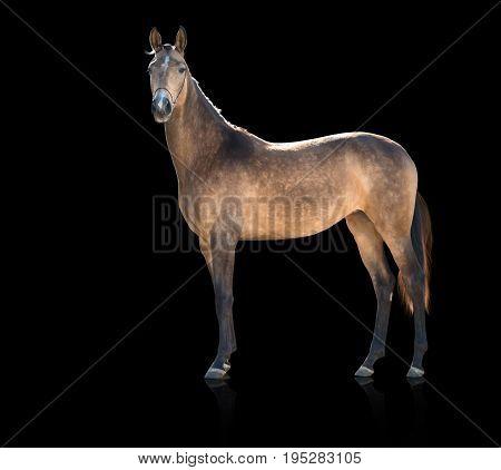 Exterior of  buckskins horse  isolated on black background