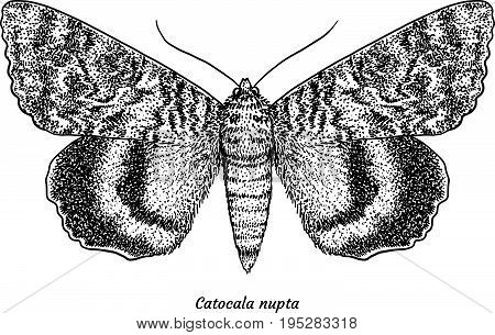 Red underwing illustration, drawing, engraving, ink, line art