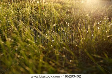 Dew on the grass in backlight close