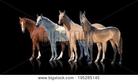 White, red palomino and backskins horses stay isolated of the black background