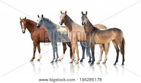 White, red palomino and backskins horses stay isolated of the white background