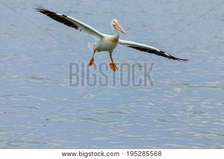 Very cool American White Pelican coming in for a landing with a nice wing span.