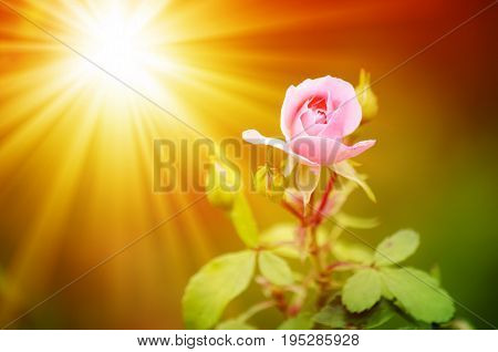 Growing Flowers. Sunbeams over the pink rose
