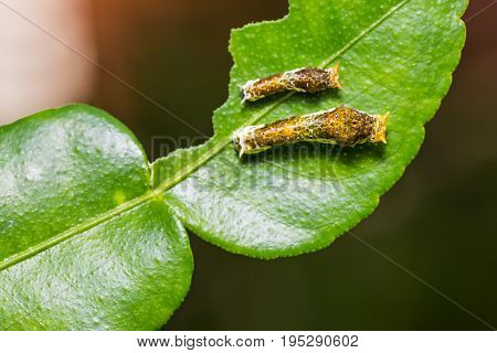 Lime Butterfly Or Common Mormon Caterpillars