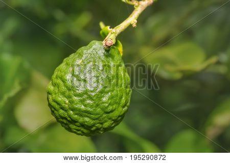 Kaffir Lime (citrus Hystrix) Fruit