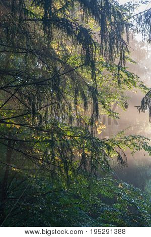 Sunlight shinning across spruce and hornbeam branches, Bialowieza Forest, Poland, Europe