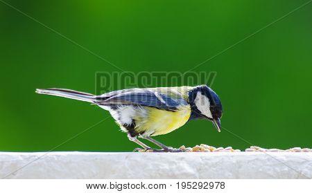 Great tit feeding with sunflower seeds on balcony edge