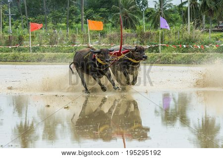 Buffaloes racing on rice farm the annual event in Chonburi Thailand