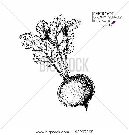 Vector hand drawn set of farm vegetables. Isolated beetroot. Engraved art. Organic sketched vegetarian objects. Use for restaurant, menu, grocery, market, store, party, meal