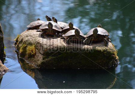 turtle gathering on rock island in lake