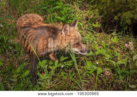Red Fox Vixen (Vulpes vulpes) Looks Right - captive animal