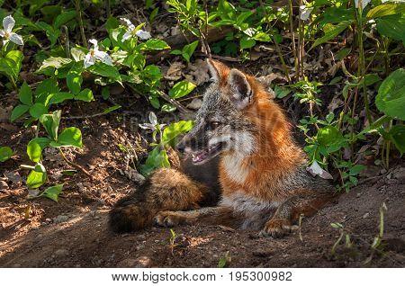 Grey Fox (Urocyon cinereoargenteus) Vixen Sits Up in Den - captive animal