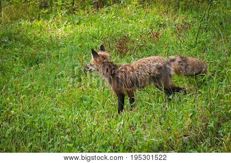 Red Fox Vixen (Vulpes vulpes) Walks Left - captive animal