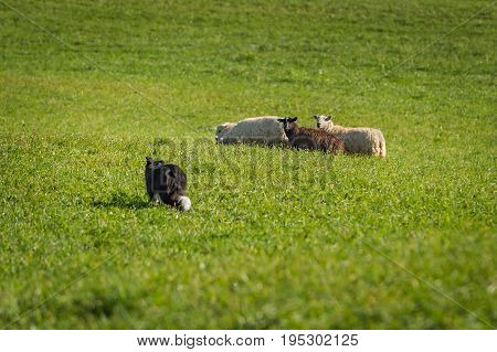 Stock Dog Walks Up to Group of Sheep (Ovis aries) - at sheep herding trials