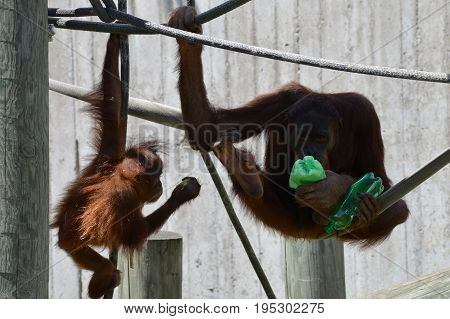 An orangutan playing with enrichment during summer