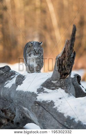 Bobcat (Lynx rufus) Walks Up Log - captive animal