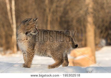 Bobcat (Lynx rufus) Looks Back - captive animal