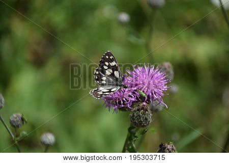 A Nymphalid butterfly feeding at a member of the Asteraceae