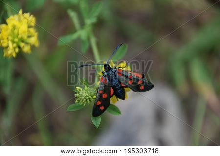 A day-flying moth feeding at a  yellow flower