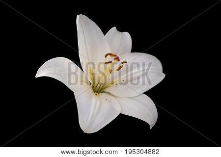 White lily flower (Lilium candidum) on black background