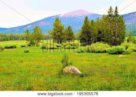 Lush green meadow with wildflowers surrounded by a pine forest taken at Horseshoe Meadow in the Sierra Nevada Mountains, CA
