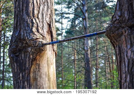 Homemade horizontal bar ingrown into the trunk of a tree