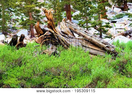 Lush green meadow surrounded by a pine forest taken in the Sierra Nevada Mountains, CA