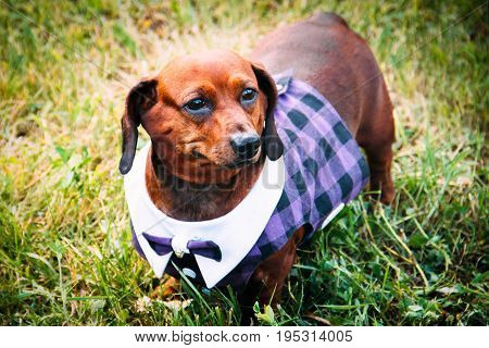 A dog in a Scottish kilt stands on a green lawn grass, dash hound